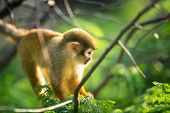 cute squirrel monkey in tree