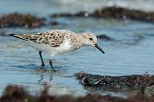A Sanderling (caladris Alba) Searching For Food On The Shore