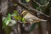 A Willow Warbler (phylloscopus Trochilus) Looking For White Fly