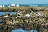 Group Of Ruddy Turnstone And  Sanderlings In Varying Plumages