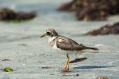 Ringed Plover (charadrius Hiaticula) With Worn Plumage On The Beach