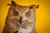Raptor eagle owl in a sample of birds of prey, medieval fair
