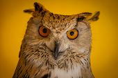 Face, eagle owl in a sample of birds of prey, medieval fair