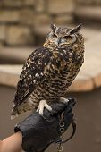 Spotted Eagle Owl Perched on a Hand
