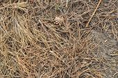 picture of pine-needle  - Land surface crumbled pine needles and cones - JPG