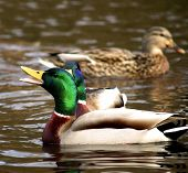 Male Duck swimming with open mouth