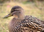 Female Mallard Duck Ducks walking in grass