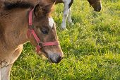 foto of fillies  - Filly grazing fresh grass on a meadow - JPG