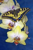 Swallowtail Butterfly (papilio Machaon) On A Flower Orchid