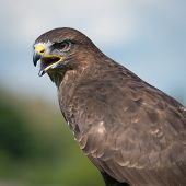 image of buzzard  - Common Buzzard buteo buteo watching for prey - JPG
