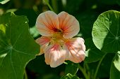 stock photo of nasturtium  - A light orange nasturtium with darker stripes growing in a lush green garden - JPG