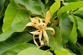 Perfume Tree (Ylang-Ylang Flower)