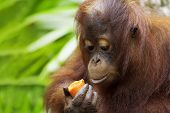 pic of orangutan  - Orangutan in the jungle of Borneo - JPG