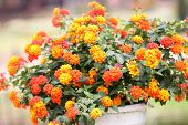 foto of lantana  - The Colorful of Lantana Flowers in garden - JPG