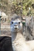Staring Peruvian Alpaca - Vicugna pacos