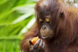 picture of orangutan  - Orangutan in the jungle of Borneo - JPG