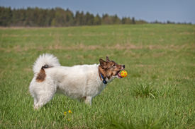 stock photo of laika  - Cute Siberian husky  - JPG
