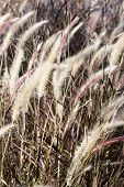 stock photo of bull rushes  - bullrushes plant in the side of a pond - JPG