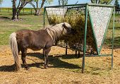 stock photo of horses eating  - A Brown Shetland Pony Eating Hay out of a Horse Feeder - JPG