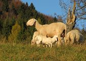 image of breastfeeding  - mother sheep breastfeeding her little lamb in the midst of the flock in the mountains - JPG