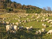 Huge Flock Of Sheep And Goats Grazing In The Mountains
