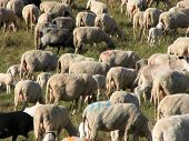 Large Flock Of Sheep And Goats Grazing In The Mountains