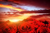 Red wet roses flowers on dramatic, romantic sunset sky. Great for Valentines day, Mothers day, wedding anniversary celebrations etc.