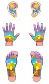 Reflexology Zones Ears Hands Feet