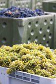 wine harvest, Southern Moravia, Czech Republic