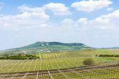 spring vineyard, Palava, Czech Republic