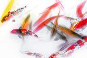 Koi Fish Swimming Abstract Watercolor