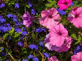 Pretty Purple And Pink Petunias Growing In A Garden