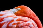 Orange-pink Flamingo