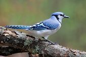 pic of blue jay  - A blue jay  - JPG