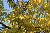 Yellow Birch Tree Leaves with blue sky background