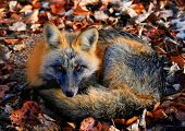 a fox trying to stay warm in the winter
