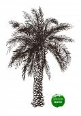 foto of washingtonia  - Hand drawn palm tree in retro style - JPG
