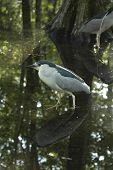 Heron Black-Crowned Night (N. nycticorax)