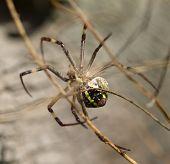 Orb Weaver Spider Abdomen Underside