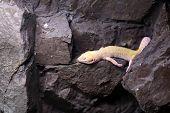 Lizard Resting On Stone