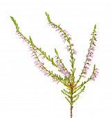 heather with light pink flowers isolated on white background