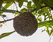 Honeybee Swarm Hanging On Guava Tree In Nature After Rainning