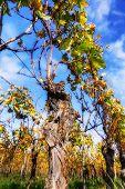 Landscape With Autumn Vineyard After Harvest