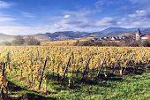 Landscape With Autumn Vineyards. France, Alsace