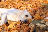 Yellow Labrador In The Park In Autumn With Leaves