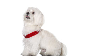 picture of bichon frise dog  - Bichon puppy with red collar isolated on white - JPG