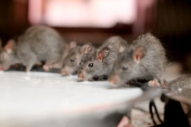 image of field mouse  - A group of rats drink milk in an Indian temple