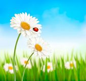 stock photo of daisy flower  - Nature spring daisy flower with ladybug - JPG