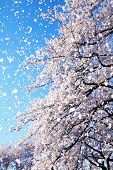 stock photo of floating  - Magnificent scene of cherry blossoms flower petals floating and falling in a spring breeze - JPG