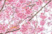 image of sakura  - Pink cherry blossom  - JPG